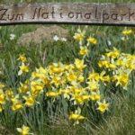Ein Empfangskommittee aus blühenden Narzissen im Nationalpark Eifel