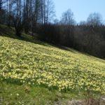 Ein Berghang voller gelber Narzissen bei strahlendem Frühlingswetter