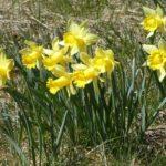 Detailaufnahme einzelner Gruppen von gelben Narzissen auf einer Wiese