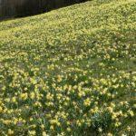 Ein Berghang voller gelber Narzissen in der Eifel