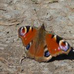 Ein Schmetterling - Pfauenauge - sonnt sich mit ausgebreiteten Flügeln auf einem Waldweg