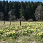 Narzissenwiese vor einem Wald in der Eifel