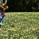 blühende gelbe Narzissen mit einem Baum im Vordergrund, an dem bunte gehäkelte Schmetterlinge als Deko angebracht sind