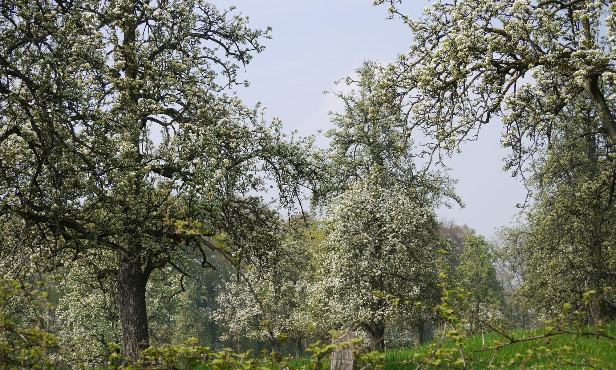 Beeindruckende blühende Birnbäume